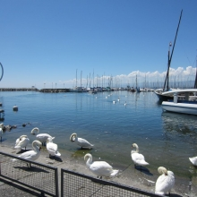 Lausanne Harbor - We Counted 52 Swanns