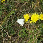 White Sulfur Butterfly