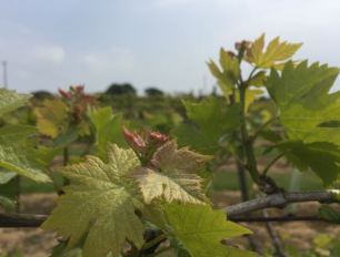 Newly leafed out vines