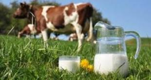 حليب البقر الطازج