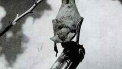 كيف استخدم الأمريكان الخفافيش في تفجير اليابان