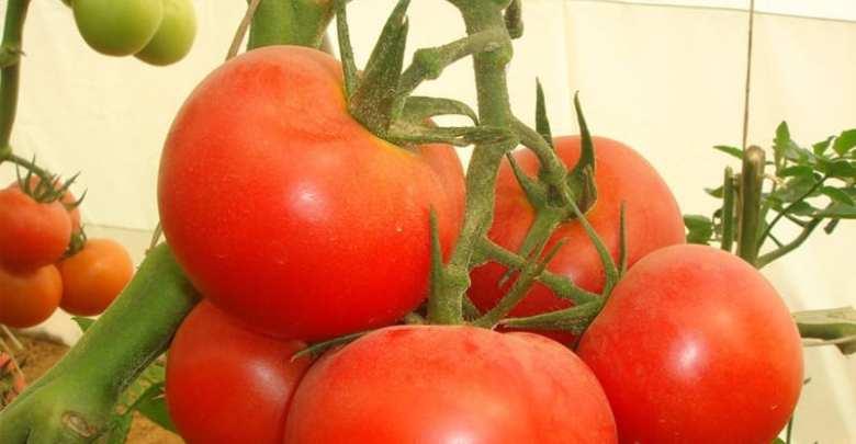 كيف تزرع الطماطم في منزلك؟