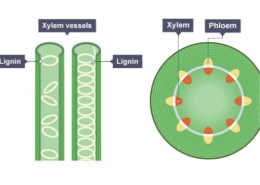 describe the working of xylem?