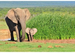 How long is the gestation period of an African elephant?