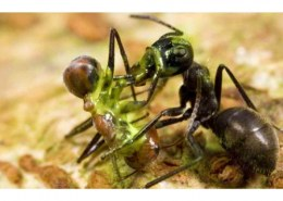 Can ants live inside your body?