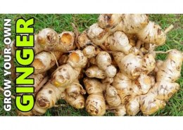 Can you grow ginger hydroponically?
