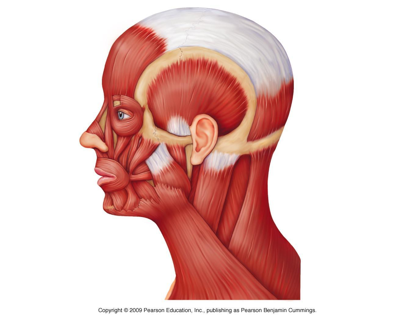 Human Head And Neck Muscles Diagram Muscles Of Mastication Scored Quiz