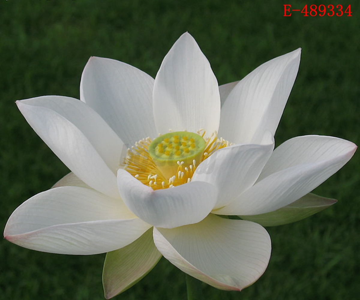 lotus in water plant diagram peg perego gator hpx wiring 10x lily seeds nelumbo nymphaea bowl pond