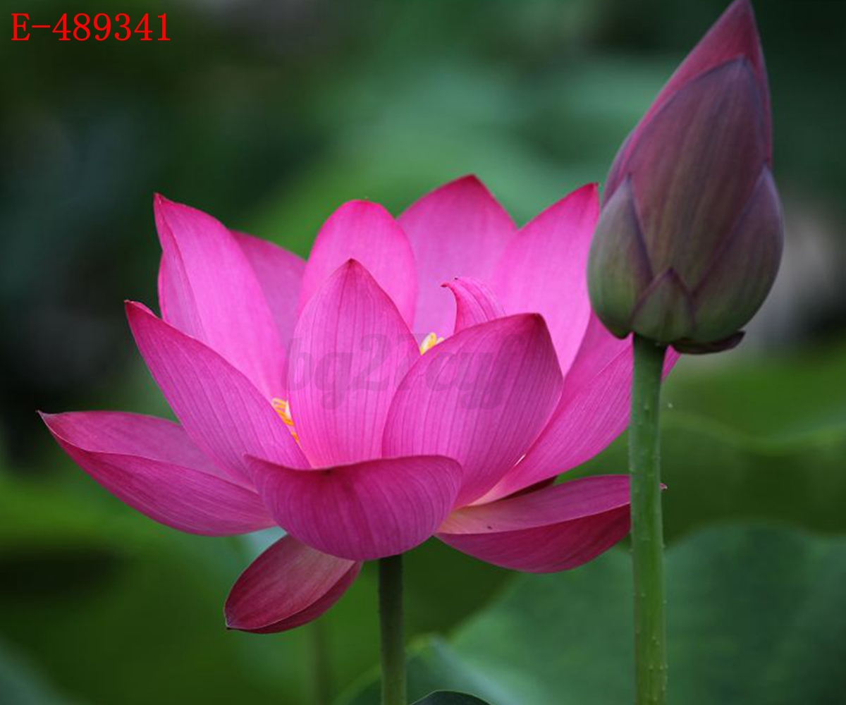 lotus in water plant diagram jeep cherokee wiring 1998 10x lily seeds nelumbo nymphaea bowl pond