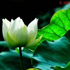 Lotus In Water Plant Diagram Alpine Type X 12 Wiring 10x Lily Seeds Nelumbo Nymphaea Bowl Pond