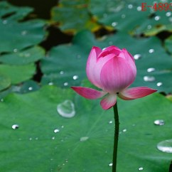 Lotus In Water Plant Diagram 6 Pin Window Switch Wiring 10x Lily Seeds Nelumbo Nymphaea Bowl Pond