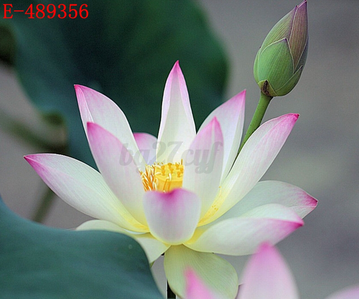 lotus in water plant diagram p bass wiring 10x lily seeds nelumbo nymphaea bowl pond