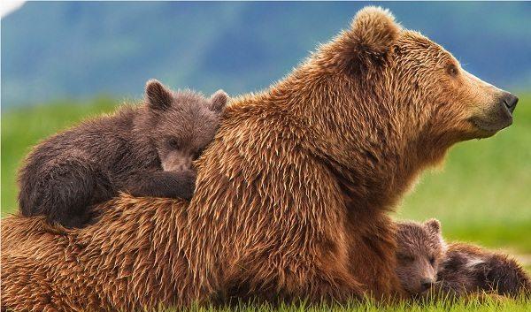 Película Bears