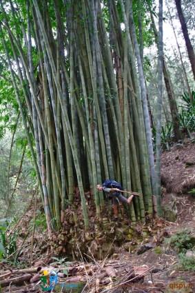 Bambous géants