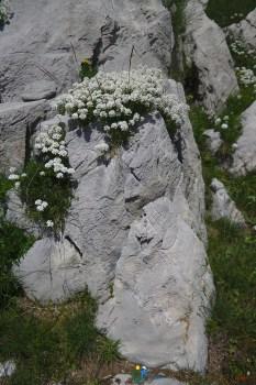 Fleurs et lapiaz – Jour 4 – Tour du Marguareis – Juin 2016 – Trek, Rando, Italie