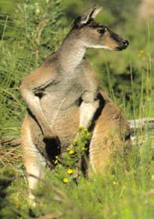 Western Grey Kangaroo Environment Land And Water