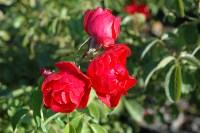 Flower Carpet Scarlet Rose (Rosa 'Flower Carpet Scarlet ...