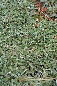 Silver Carpet (Dymondia margaretae) in Saskatoon ...