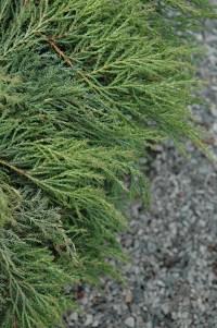 Siberian Carpet Cypress Microbiota Decussata - Carpet ...