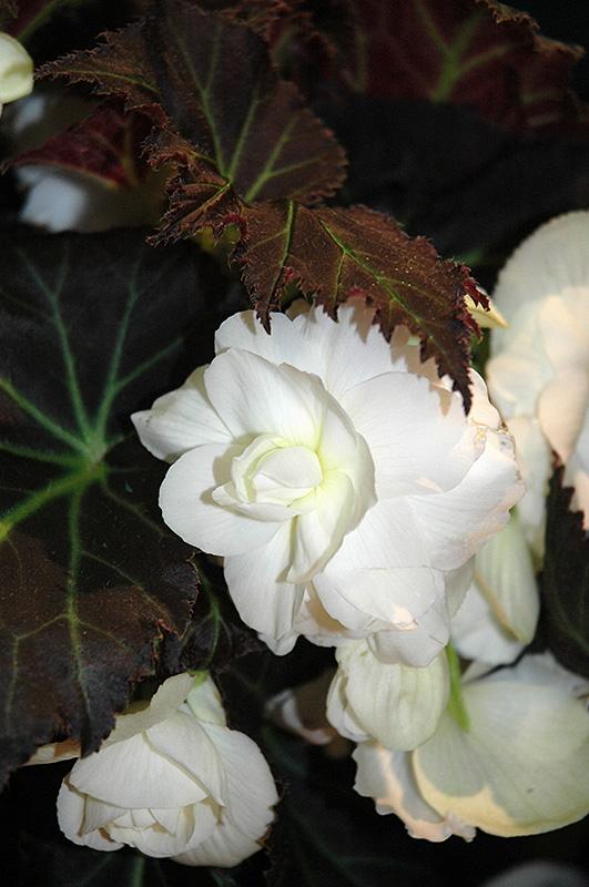 nonstop mocca white begonia