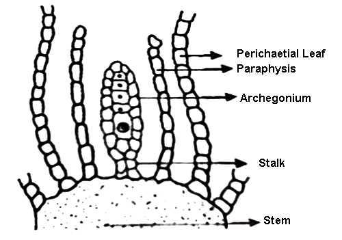Explain Archegonium or Female Reproductive Organ of Moss