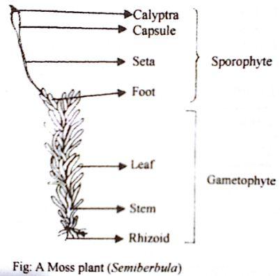 Describe labelled diagram of Sporophyte of Semibarbula or