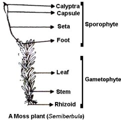 Fungus Cell Diagram Labeled Simple Volcano Labelled Of Sporophyte Moss - Qs Study
