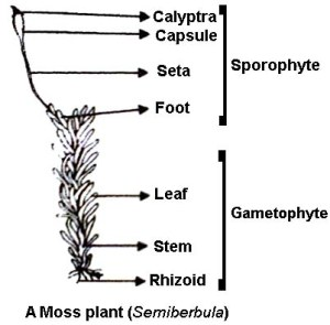 labelled diagram of Sporophyte of Moss  QS Study