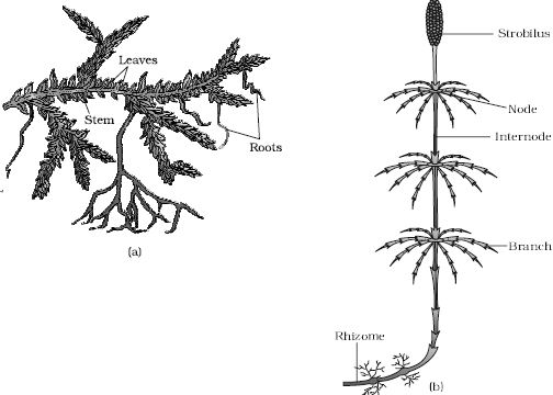 labelled diagram of xylem and phloem throat anatomy describe on pteridophytes - qs study