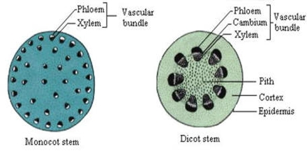 dicot stem diagram dc motor wiring comparison between the and monocot - qs study