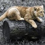 Mountain Lion senza paura