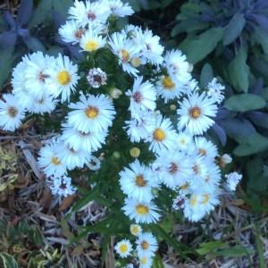 September: Aster from Quadra Garden Club plant sale
