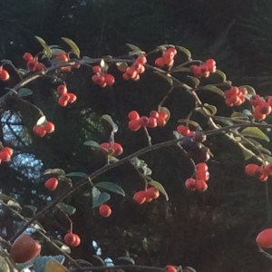 October: Cotoneaster franchet