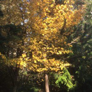November: Rhamnus purshiana