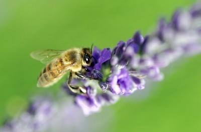 Puntura d'ape sotto il piede: 5 minuti e passa tutto con Quanti-Ka