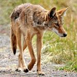 coyote-150