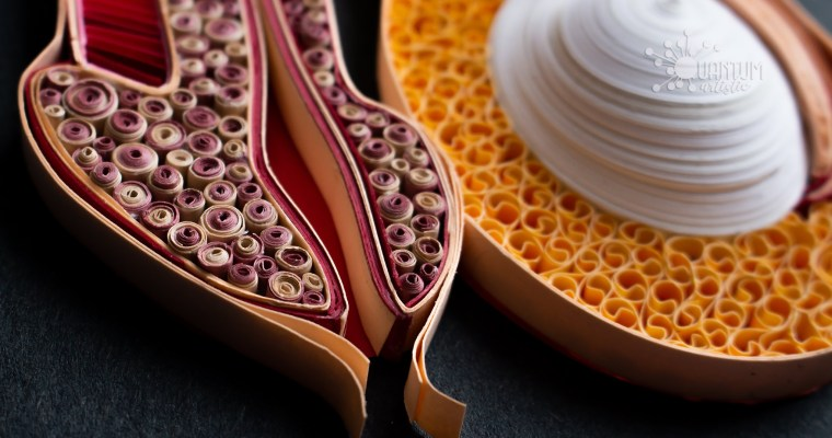 Quilled Male Reproductive Tract