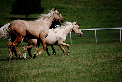 yearlings-running