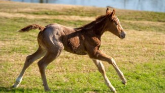 foal running at SDP Buffalo Ranch