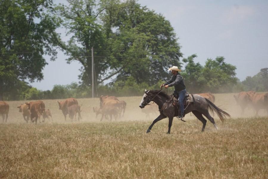 Shank Collins herding cattle on grey horse