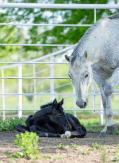 foal laying on ground, mare standing over