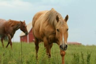 horse-pasture-palomino