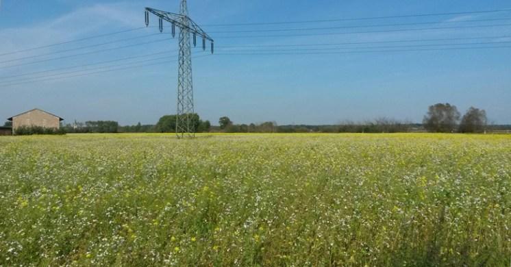 Blühendes Feld zwischen Eppertshausen und Münster