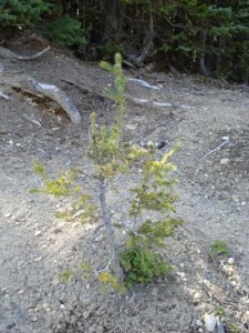 reforestation-quastuco-silviculture-penticton-okanagan-6