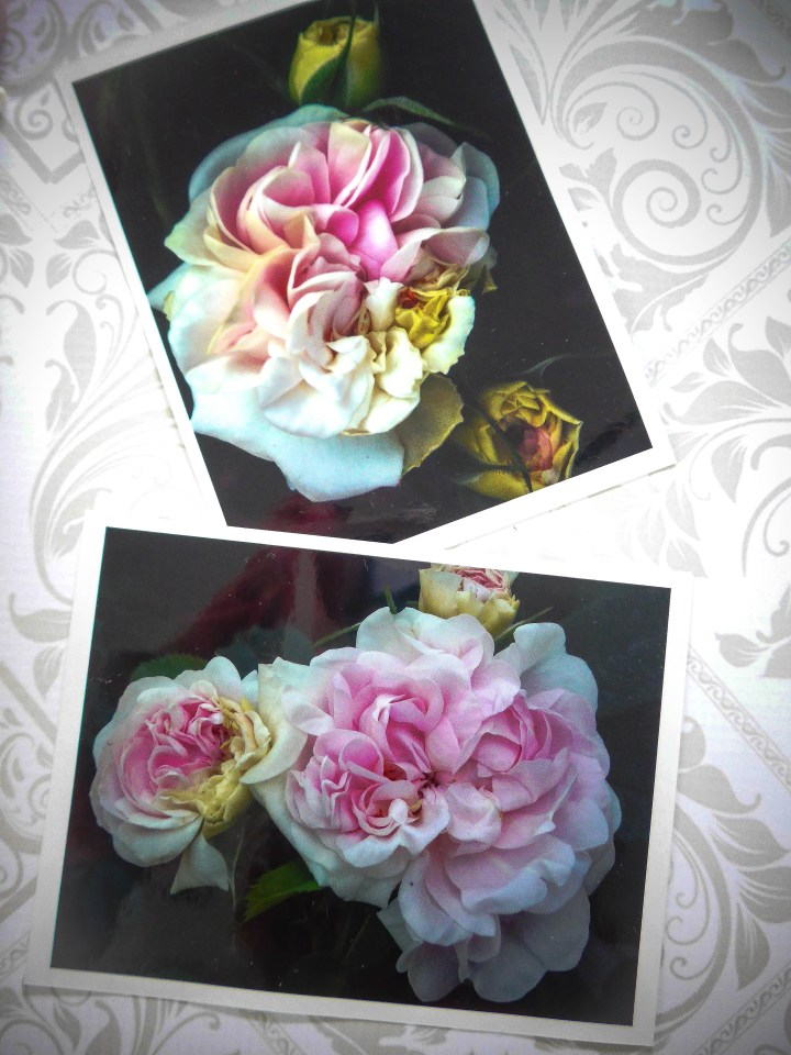 Roses cuisses de nymphe émues