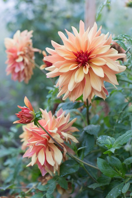 Dahlia French Cancan - Magali ANCENAY