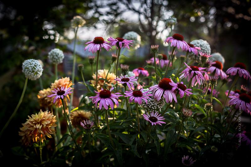 Mix de fleurs au potager- Magali ANCENAY