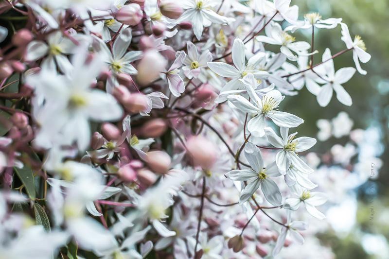 Clématite Armandii Apple Blossom 2020