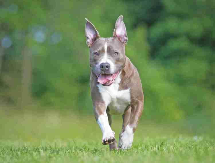 American Staffordshire Terrier - Quattro Zampe