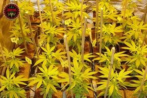 Photos de graines de cannabis Queen-Seeds Féminisées